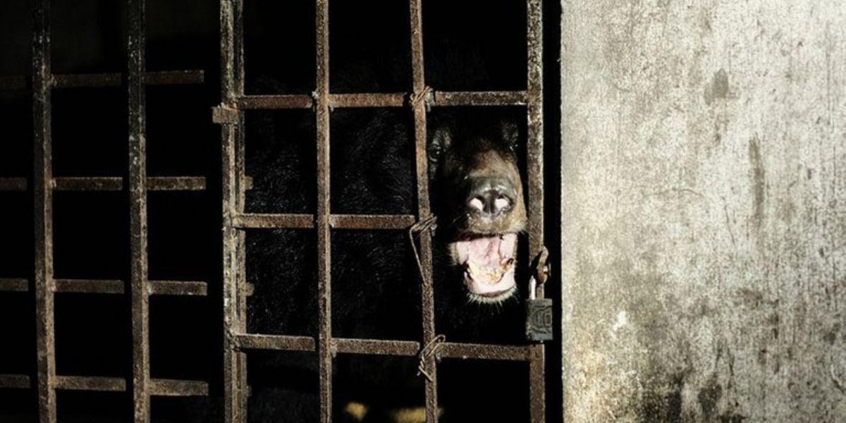 17 años enjaulados: rescatan a dos osos negros que habitaban en un sótano oscuro de Vietnam
