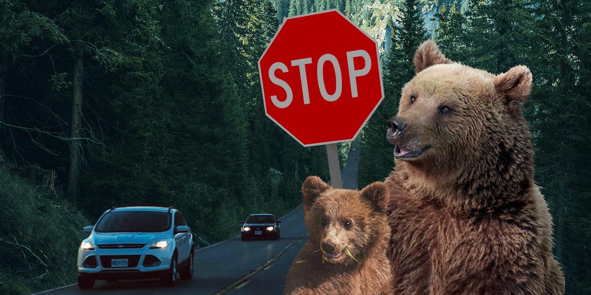 La lucha de una mamá oso para ayudarle a sus oseznos a cruzar una carretera