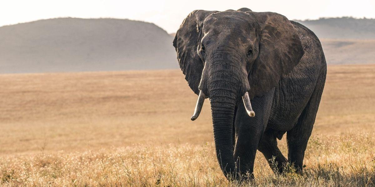Un elefante hambriento derrumbó el muro de una cocina en busca de comida