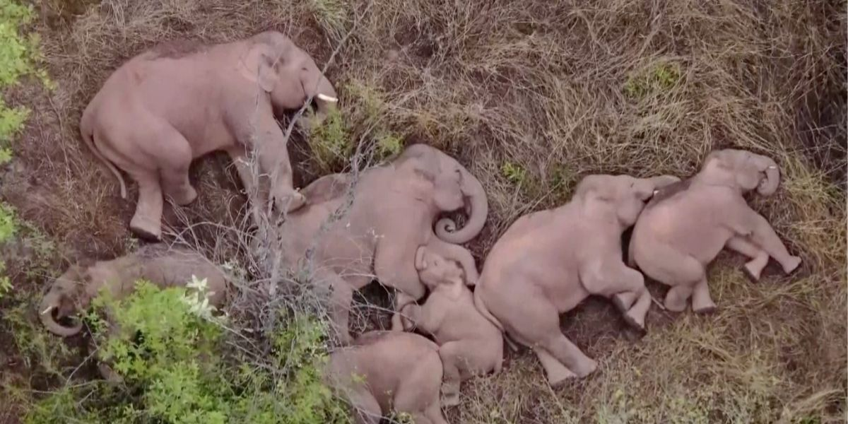 Esta manada de elefantes fue captada tomando una merecida siesta luego de caminar 500 km