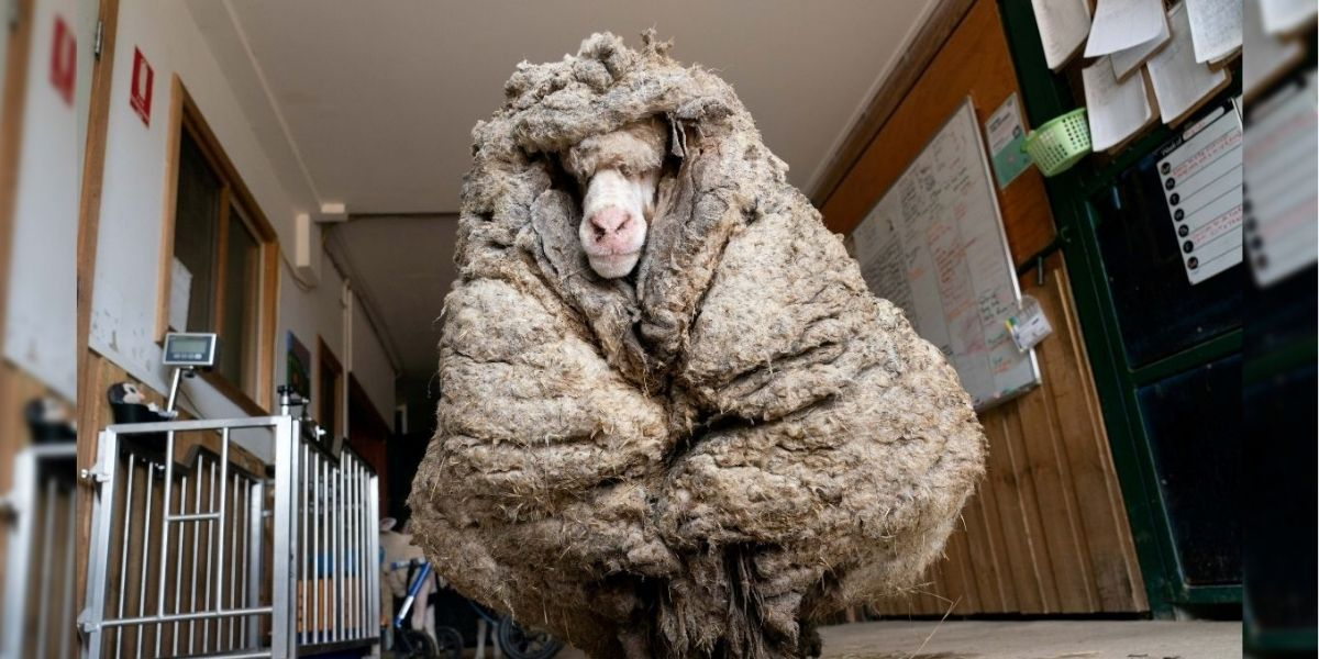 Baarack, the sheep that was lost in a forest for years and was found with 77 lbs of wool