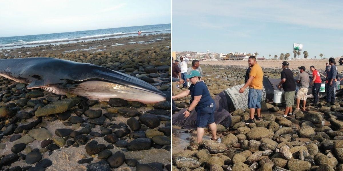 Una comunidad se unió para salvar a una ballena varada en una playa mexicana