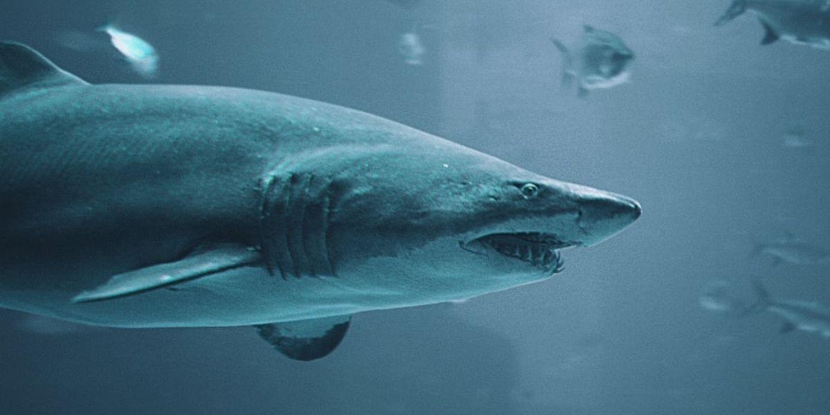 El tiburón más viejo del mundo tiene más de 500 años y vive en Groenlandia