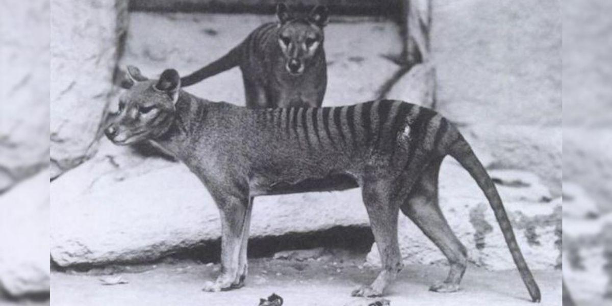 Este es el único video que existe del Tigre de Tasmania, una especie que se extinguió hace más de 80 años