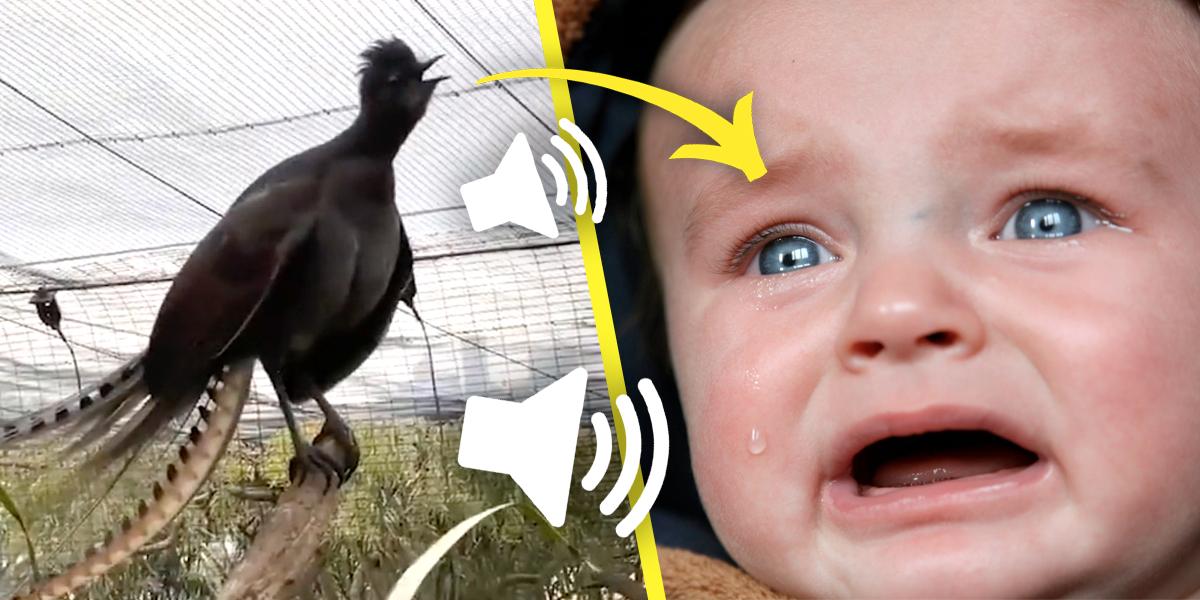 Un pájaro de un zoo australiano ha aprendido a imitar a la perfección el llanto de un bebé