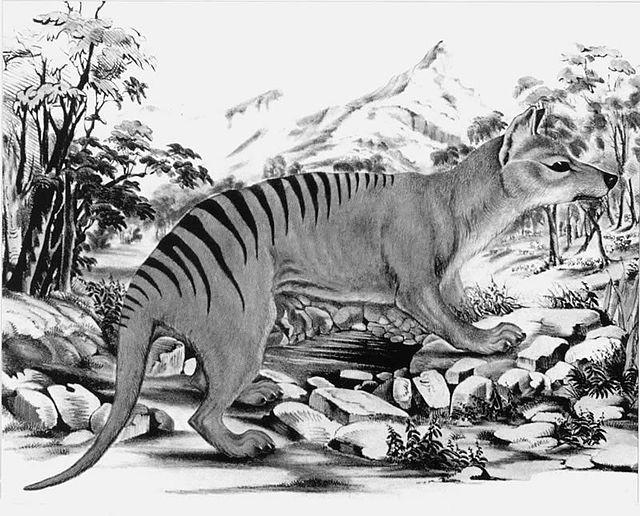 Este fue el último video de un Tigre de Tasmania