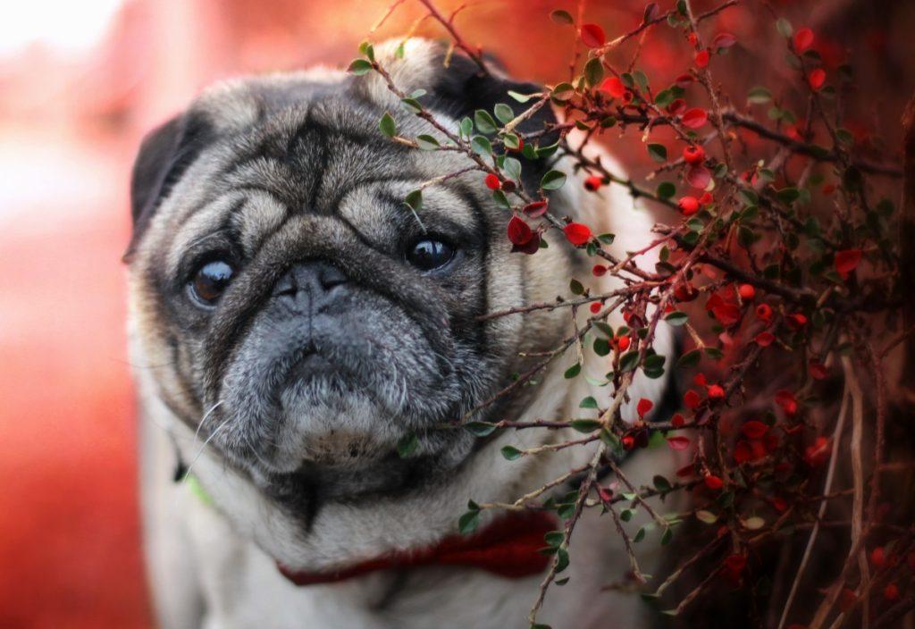 ¿Por qué los pugs son la raza de perro más rara que existe?